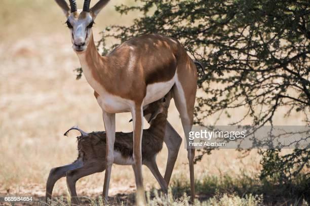 springbok mother with her newborn fawn, kgalagadi national park, kalahari, south africa - springbok deer stock photos and pictures