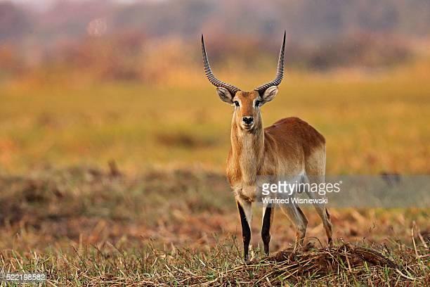 springbok - springbok - fotografias e filmes do acervo