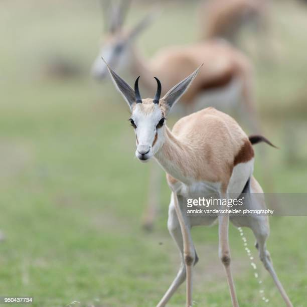 springbok. - springboks stock photos and pictures