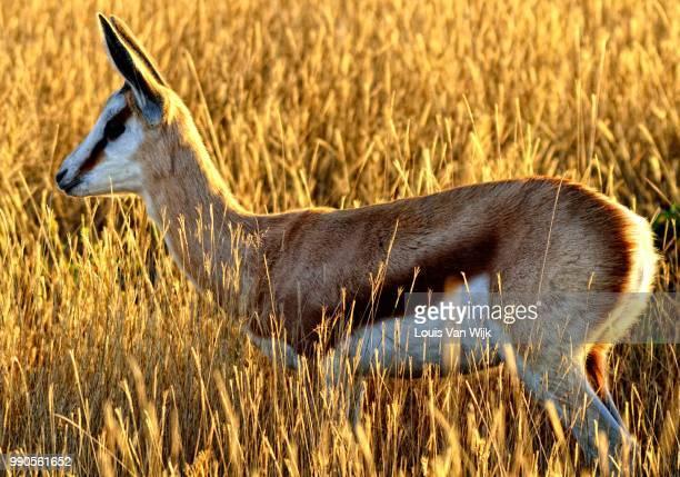 springbok - springbok deer stock photos and pictures
