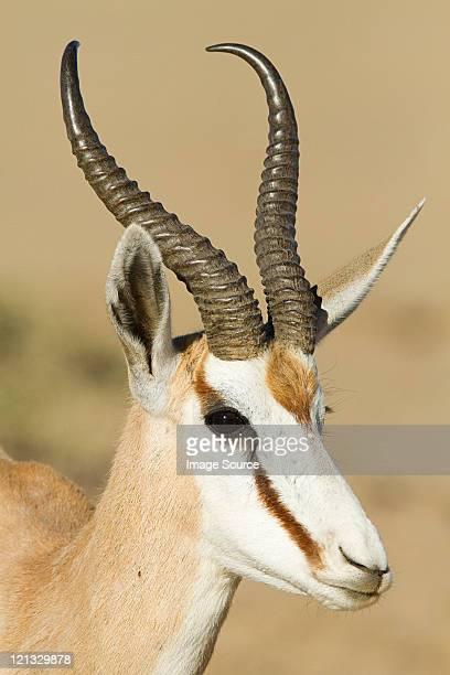 Springbok, portrait