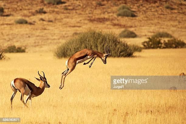 Springbok Running and Jumping - on Safari in Africa