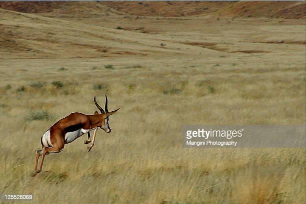 springbok running - springbok - fotografias e filmes do acervo