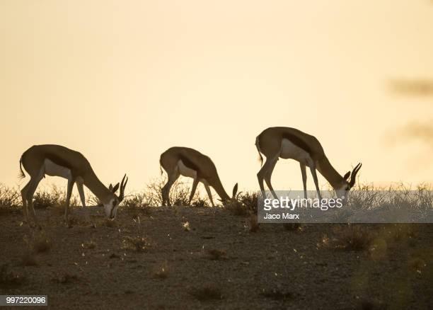 springbok trio - springbok deer stock photos and pictures