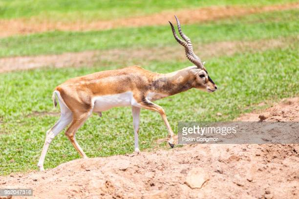 springbok walking in the natural park - springbok stock photos and pictures