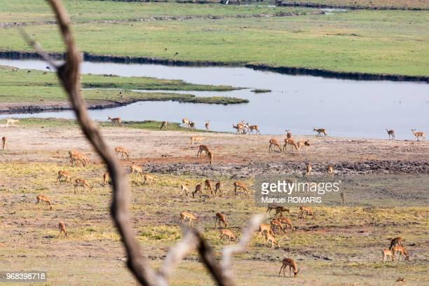 springboks, chobe national park, botswana - springbok deer stock photos and pictures