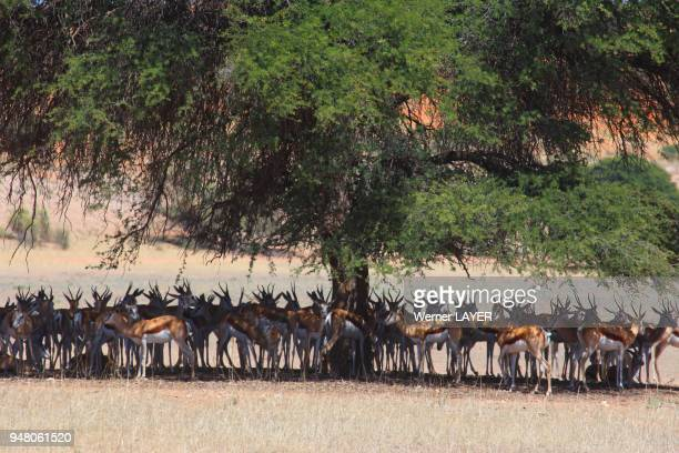 Springbuck in the shade of a tree