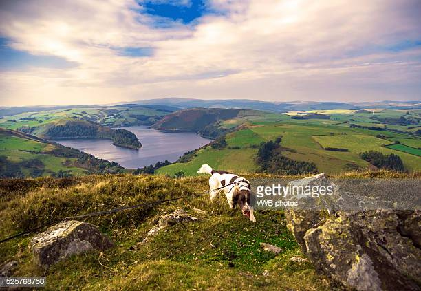 springer spaniel and panoramic view of clywedog reservoir, wales - english springer spaniel stock pictures, royalty-free photos & images