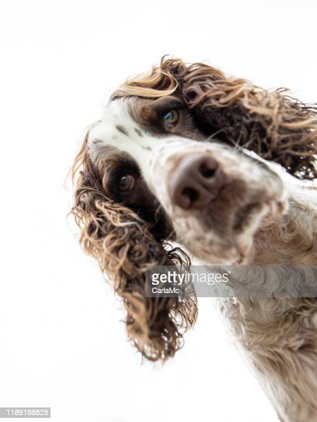 springer spaniel dog looking down - springer spaniel stock pictures, royalty-free photos & images