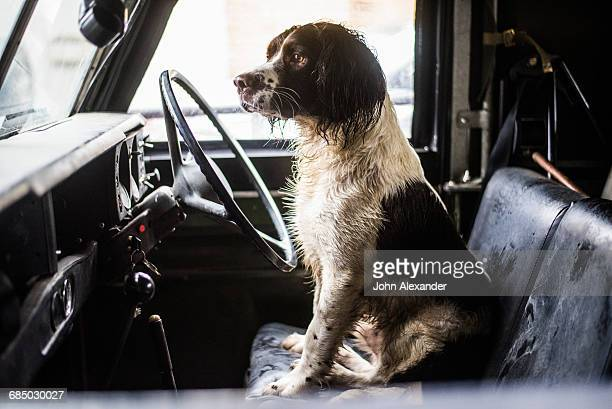 Springer Spaniel, Gun Dog, Land Rover