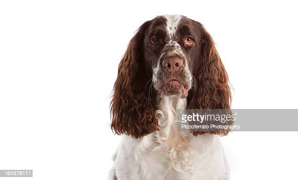 Springer Spaniel head shot