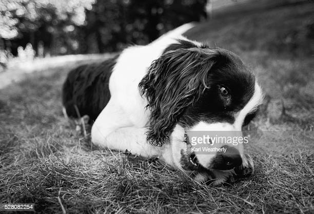 Springer Spaniel Laying In Grass Stock Photo - Getty Images
