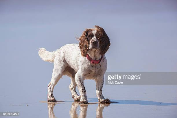 Springer spaniel on beach in Cornwall, England