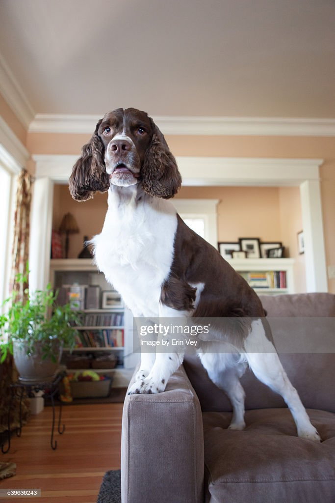 Springer spaniel on couch : Stock Photo