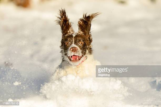 springer spaniel pet dog having fun in the winter snow - snow stock pictures, royalty-free photos & images