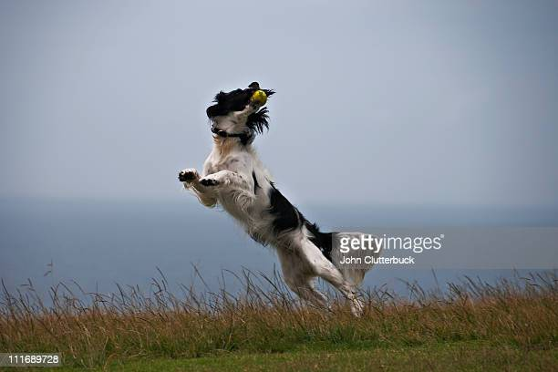 springer spaniel - sydney chase stock pictures, royalty-free photos & images
