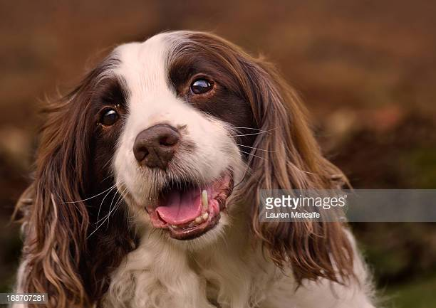 springer spaniel - springer spaniel stock pictures, royalty-free photos & images