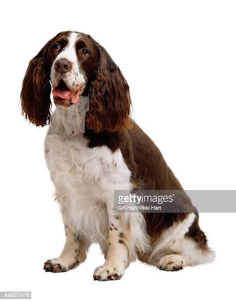springer spaniel - springer spaniel stock photos and pictures
