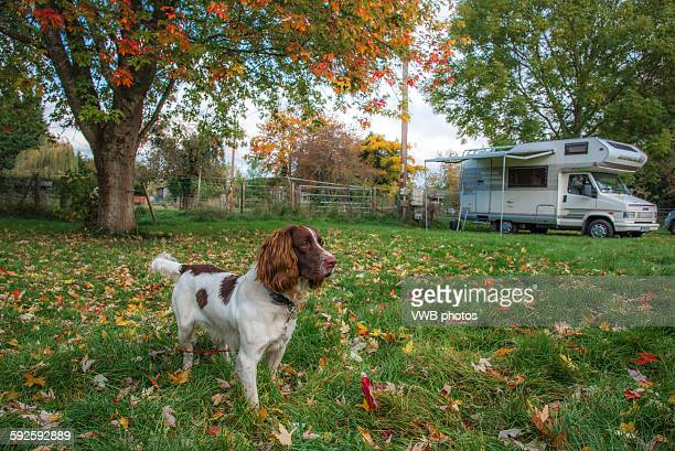 springer spaniel, playing outside with camper van - springer spaniel stock pictures, royalty-free photos & images