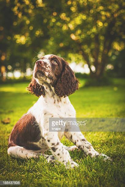 springer spaniel puppy - springer spaniel stock pictures, royalty-free photos & images