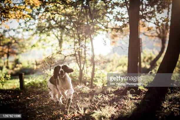 springer spaniel running - dog walking stock pictures, royalty-free photos & images
