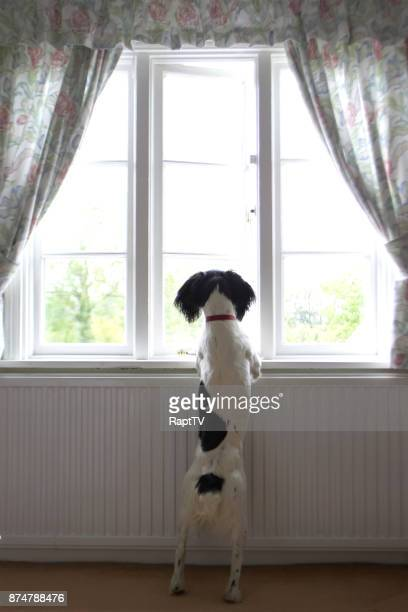 A Springer Spaniel Waiting for Her Owners To Come Home.
