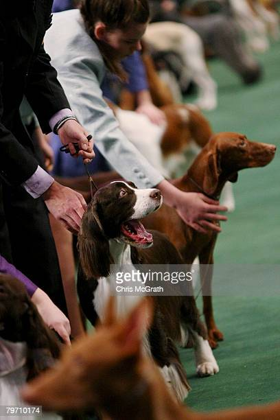 Springer Spaniel yawns while being shown in the Jnr Showmanship section during the 132nd Annual Westminster Kennel Club Dog Show at Madison Square...