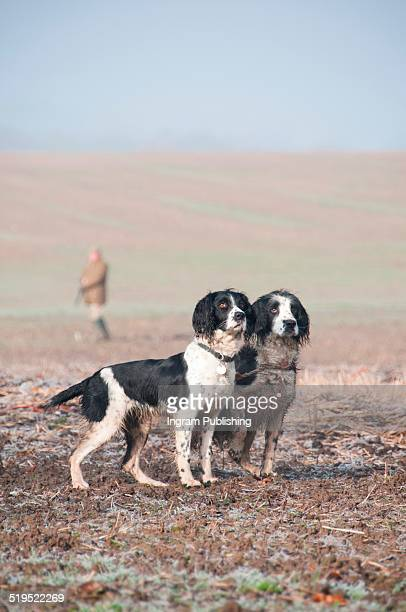 springer spaniels standing with hunter in background - springer spaniel stock photos and pictures