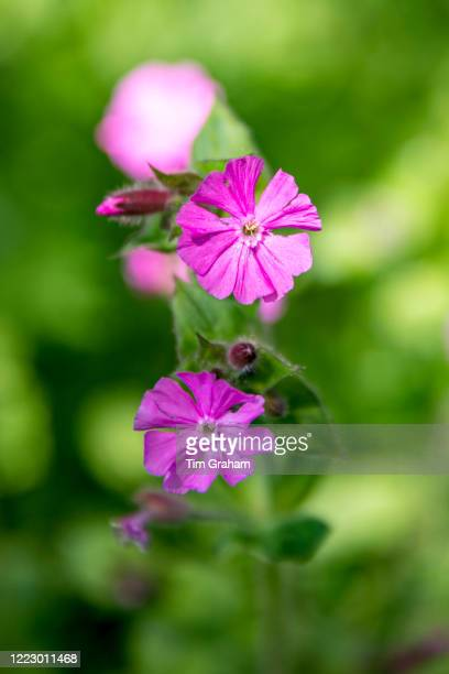 Springflowering wildflower Red Campion Silene dioica blooming in a country garden in the England