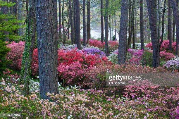 azaleas blooming in the spring---southeastern united states - ed reschke photography photos et images de collection