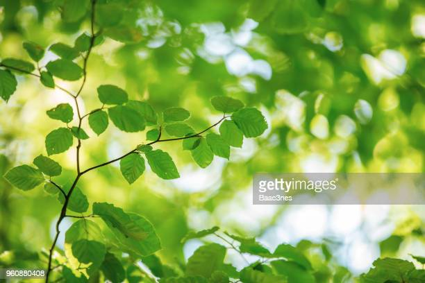 springtime and new leaves on the beech trees - beech tree stock pictures, royalty-free photos & images