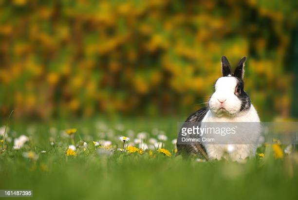 springtime and pet rabbit - black dwarf stock pictures, royalty-free photos & images