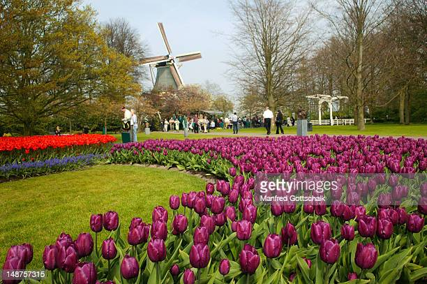 springtime at keukenhof gardens with spectacular blooming tulips. - keukenhof gardens stock pictures, royalty-free photos & images