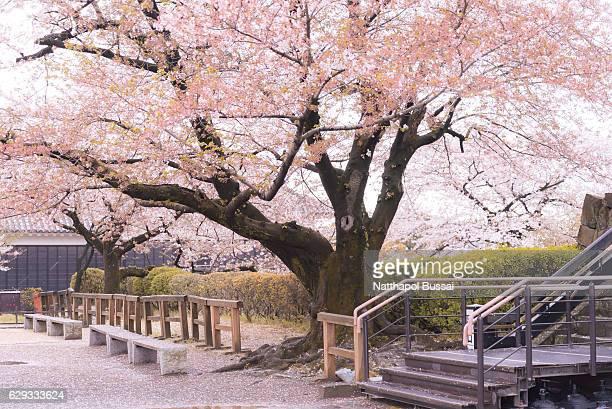 Springtime at Kumamoto Castle , Sakura was blown by wind , Kumamoto , Japan.