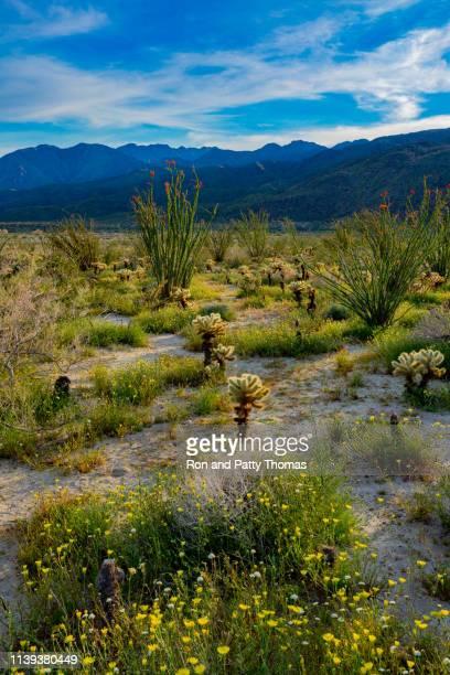 springtime im erleuchteten kaktus im anza borrego desert state park, ca - südwesten stock-fotos und bilder