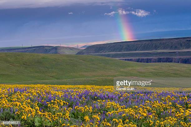 Springtime bloom of Lupine & Balsamroot yellow/blu