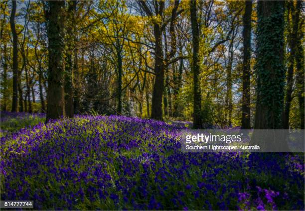spring-time blooms of bluebells at pamphill, a tiny hamlet in dorset, england, united kingdom. - bluebell wood stock pictures, royalty-free photos & images