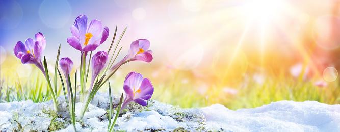 Springtime - Crocus Flower Growth In The Snow With Sunbeam 1125129156
