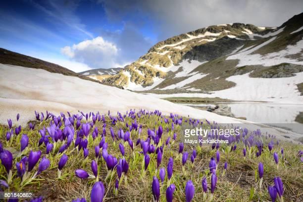 springtime crouses nearby melting snow in rila - bulgarije stockfoto's en -beelden