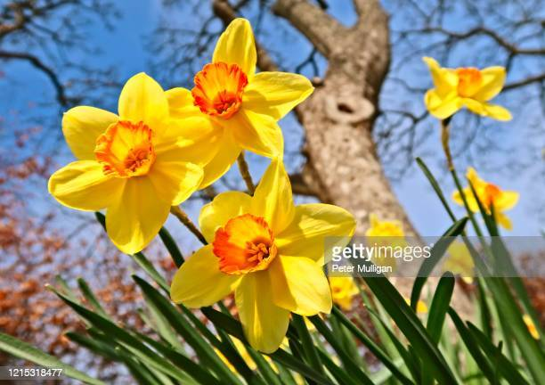 springtime daffodils in bloom - flower stock pictures, royalty-free photos & images