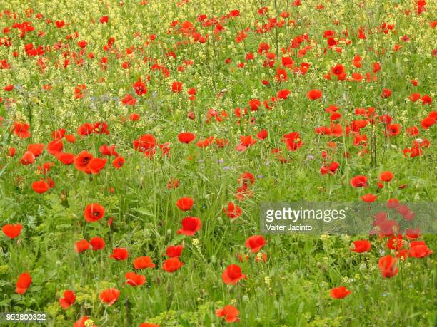 Springtime: field of Corn Poppy (Papaver rhoeas)