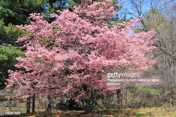 springtime: flowering crab apple tree in full bloom - crab apple tree stock pictures, royalty-free photos & images