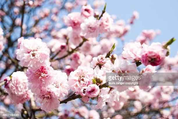 Springtime. Flowers in a London tree