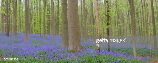 "springtime forest view on bluebell flowers growing on the beech tree forest floor - ""sjoerd van der wal"" or ""sjo"" stock pictures, royalty-free photos & images"