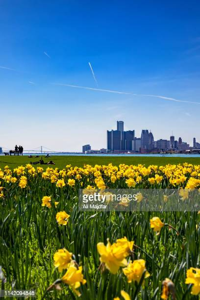 springtime in belle isle - field of daffodils stock pictures, royalty-free photos & images