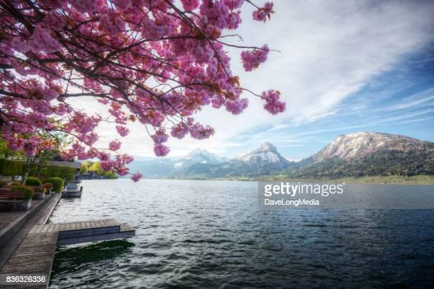 frühling im den alpen - obstbaum stock-fotos und bilder