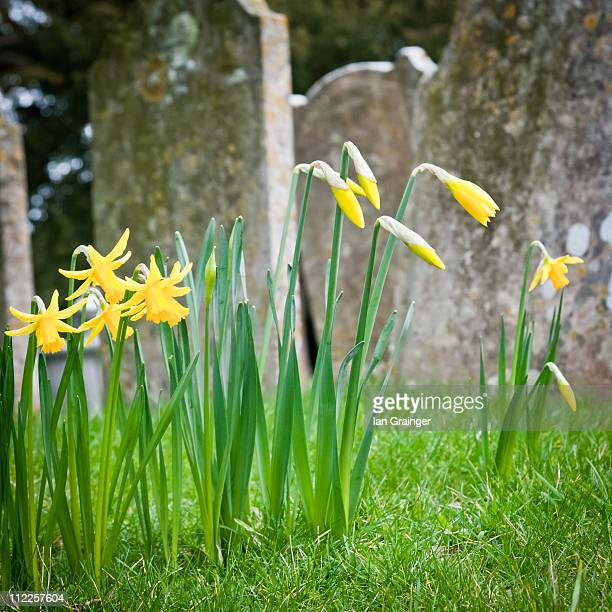 springtime in the cemetery - ian grainger stock pictures, royalty-free photos & images