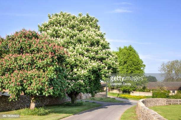 springtime in the cotswold village of coln st dennis, gloucestershire uk - picture of a buckeye tree stock photos and pictures