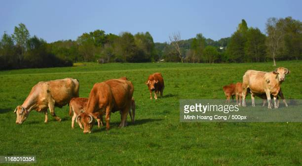 springtime in the country - vache stock photos and pictures