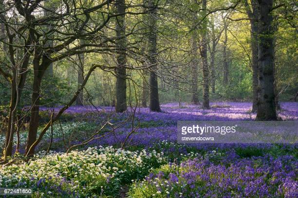 Springtime in this Wild Garlic and Common Bluebell Norfolk Woodland